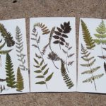 Pressed ferns